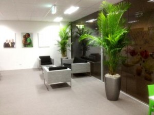 Golden Cane Palms displayed in Metallic Silver Venetian Planters