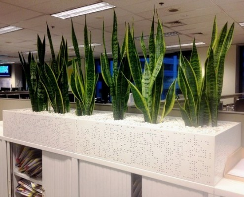Sansevieria laurentii displayed in White Cabinet Planter Boxes